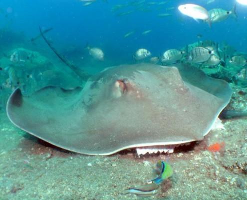 Dive Tenerife, Round Stingtay