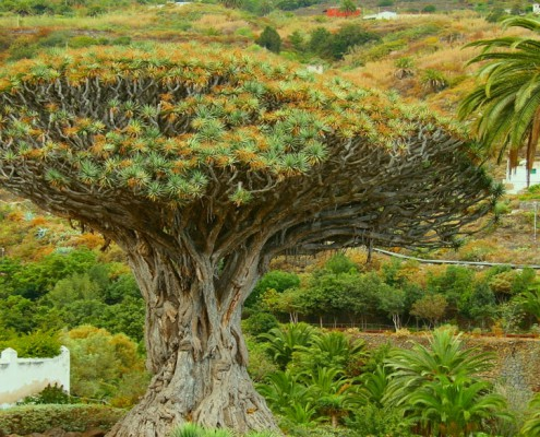 the dragon tree in icod de los vinos is natural symbol of tenerife.