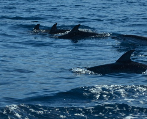 diving with dolphins in the canary islands
