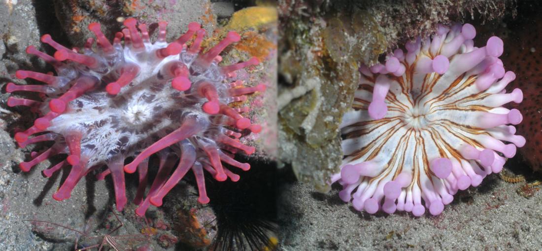 Dive Tenerife. Anemone